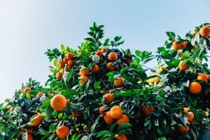 Florida Citrus Fruit Dealer's Bond