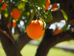 Florida Bond of Citrus Fruit Dealer to Guarantee Payment of Citrus Inspection Fees